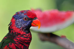 Black-winged Lory. In Hong Kong Park Royalty Free Stock Images