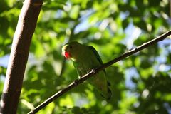 Black-winged lovebird Agapornis taranta Royalty Free Stock Photos