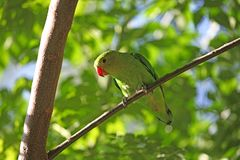 Black-winged lovebird Agapornis taranta Stock Photos