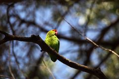 Black-winged lovebird Royalty Free Stock Photography
