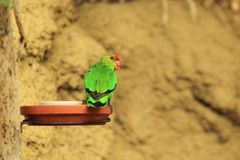 Black-winged lovebird Royalty Free Stock Photo