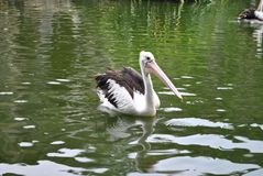 Black-winged pelicans swimming in the zoo. Pool in the afternoon stock images