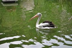 Black-winged pelicans swimming in the zoo. Pool in the afternoon stock photography