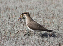 Black-winged pratincole (Glareola nordmanni) -2. Black-winged pratincole (Glareola nordmanni) that eats skolopendru Stock Photography