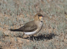 Black-winged pratincole (Glareola nordmanni). That sits in the desert Royalty Free Stock Photos