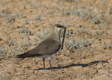 Black-winged pratincole (Glareola nordmanni)-3. Stock Photography