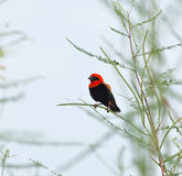 Black-winged Red Bishop Royalty Free Stock Photos