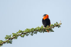 Black-winged Red Bishop Royalty Free Stock Images
