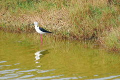 BLACK-WINGED STILT . Royalty Free Stock Photography