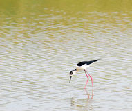 BLACK-WINGED STILT . Stock Photo