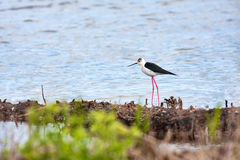 Black-winged Stilt. On the shore of a lake Stock Images