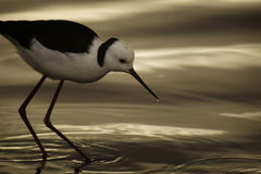 Black Winged Stilt Stock Image