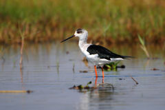 Black winged Stilt. A black-winged stilt fishing in the marshy water grasslands Stock Photography