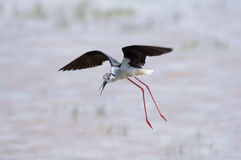 Black-winged stilt Royalty Free Stock Photos