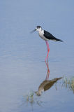 Black-winged stilt Royalty Free Stock Image