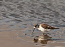 The Black-winged Stilt Stock Images