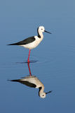 Black-winged Stilt. The Black-winged Stilt, Common Stilt or Pied Stilt (Himantopus himantopus), is a widely distributed, very long-legged wader in the avocet and stock photography