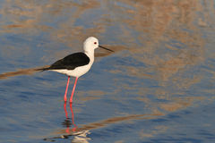 Black winged stilt Stock Photos