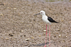 Black winged Stilt Stock Photography