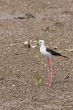 Black winged Stilt Stock Photo