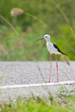 Black winged Stilt Royalty Free Stock Images