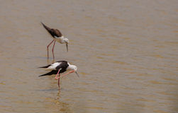 Black-winged Stilt. A Black-winged Stilt (Himantopus himantopus) uses it`s long leg to scratch it's head at a lagoon of the Aiguamolls del Emporda nature reserve Royalty Free Stock Photo