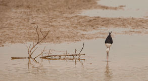 Black-winged Stilt. A Black-winged Stilt (Himantopus himantopus) seen from the front, shows the extreme stylized body shape of this species as it stalks in the Royalty Free Stock Image