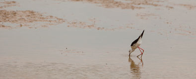 Black-winged Stilt. A Black-winged Stilt (Himantopus himantopus) seen from the front, shows the extreme stylized body shape of this species as it stalks in the Royalty Free Stock Images