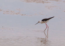 Black-winged Stilt. A Black-winged Stilt (Himantopus himantopus) seen from the front, shows the extreme stylized body shape of this species as it stalks in the Stock Photo