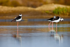 Black-Winged Stilt Stock Photography