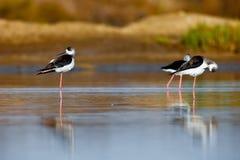 Black-Winged Stilt. Three black-winged Stilt taking a break on the water Stock Photography