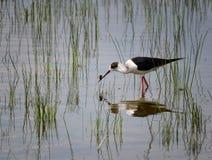 Black-winged Stilt. Black winged Stilt with catch Stock Photos