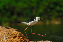 Black-winged stilt Stock Photos