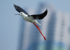 Black-winged stilt. A shot of a A snipe in the wild Royalty Free Stock Photo