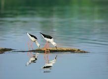 Black-winged stilt. A shot of two snipes in the wild Stock Image