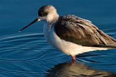 Black-winged Stilt. In shallow water Royalty Free Stock Photos