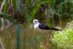 Black-winged stilt aka Himantopus himantopus. Black-winged stilt walking in a pond royalty free stock photo
