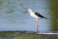 Black winged stilt in Arugam bay lagoon, Sri Lanka Stock Image