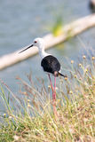 Black-winged stilt. Beautiful black winged stilt behind standing in grass Stock Image