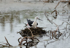Black-winged stilt. Beautiful black-winged stilt hatching egg above the water Stock Photography
