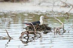 Black-winged stilt. Beautiful black-winged stilt hatching egg above the water Royalty Free Stock Photos