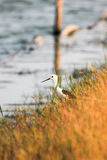 Black-winged stilt. Behind standing in grass Royalty Free Stock Photos