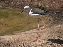 Black-winged stilt,bird Stock Photos