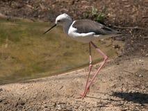 Black-winged stilt,bird. Black- winged stilt near the lake stock photos