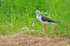 Black-winged Stilt bird Royalty Free Stock Photo