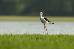 black-winged stilt bird stock image