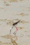 Black-winged Stilt bird. (Himantopus himantopus ) find the food Stock Photography