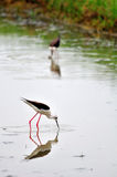 Black-winged Stilt bird (Himantopus himantopus ) Royalty Free Stock Image