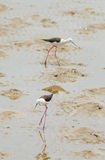 Black-winged Stilt bird (Himantopus himantopus ) Royalty Free Stock Images