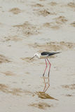 Black-winged Stilt bird (Himantopus himantopus ) Royalty Free Stock Photography